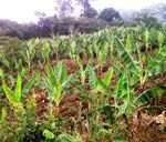 Chede plantain farm new